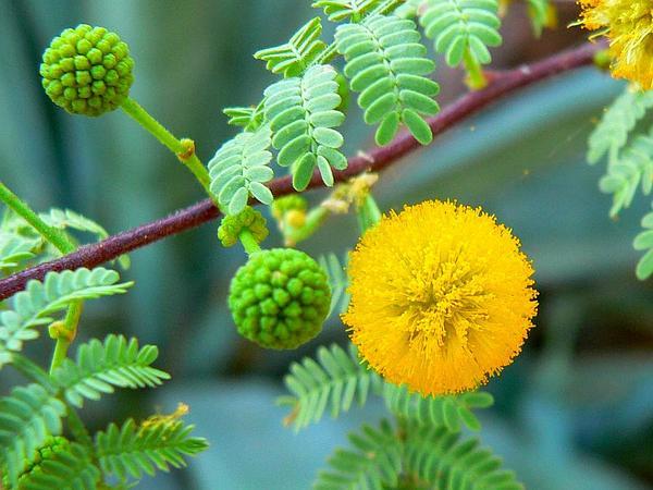 Whitethorn Acacia (Acacia Constricta) https://www.sagebud.com/whitethorn-acacia-acacia-constricta