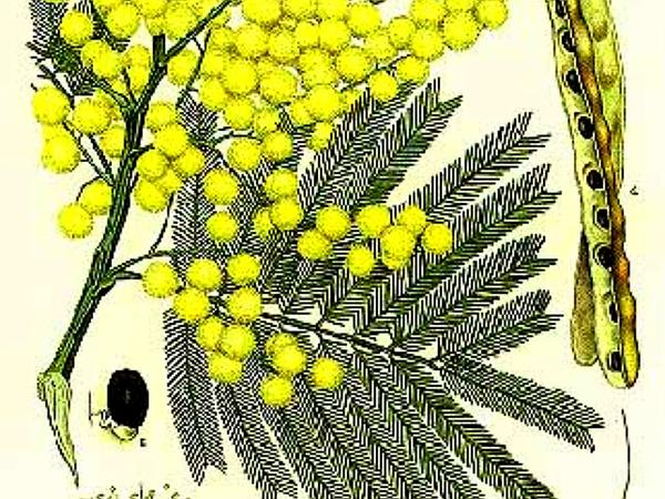 Green Wattle (Acacia Decurrens) https://www.sagebud.com/green-wattle-acacia-decurrens