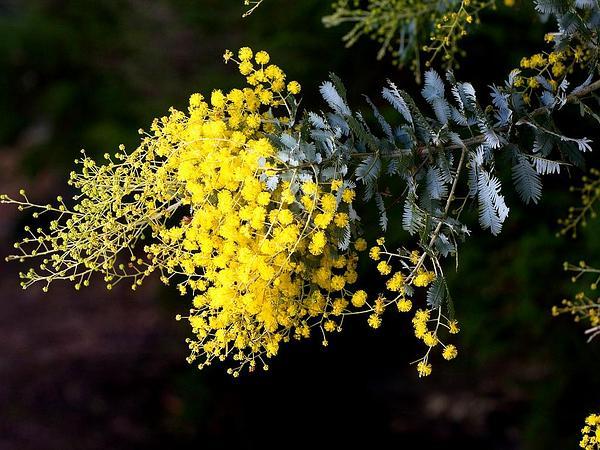 Silver Wattle (Acacia Dealbata) https://www.sagebud.com/silver-wattle-acacia-dealbata