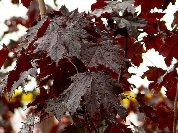 Maple (Acer) https://www.sagebud.com/maple-acer
