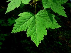 Rocky Mountain Maple