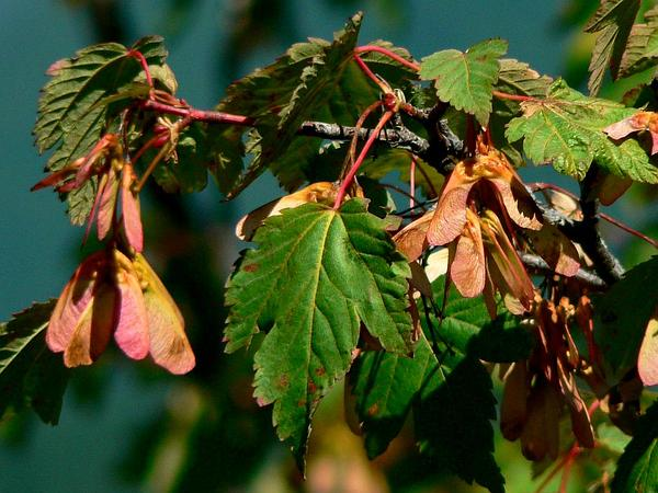 Rocky Mountain Maple (Acer Glabrum) https://www.sagebud.com/rocky-mountain-maple-acer-glabrum