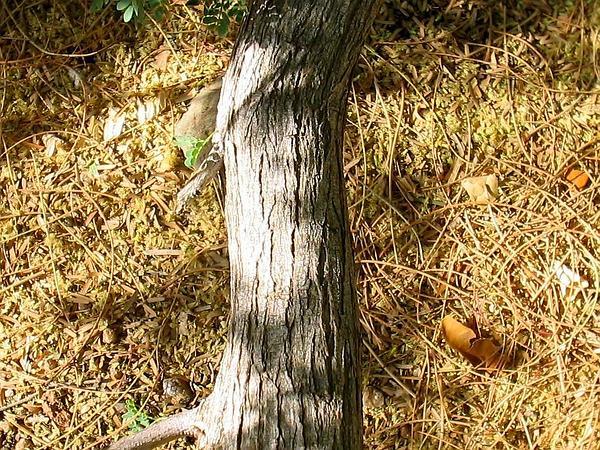 Catclaw Acacia (Acacia Greggii) https://www.sagebud.com/catclaw-acacia-acacia-greggii