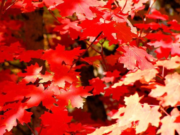 Bigtooth Maple (Acer Grandidentatum) https://www.sagebud.com/bigtooth-maple-acer-grandidentatum