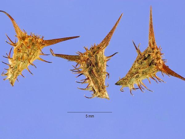 Hispid Starbur (Acanthospermum Hispidum) https://www.sagebud.com/hispid-starbur-acanthospermum-hispidum