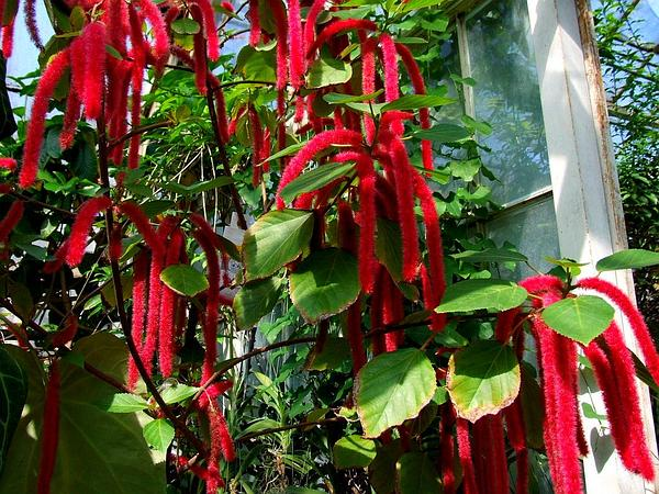 Red-Hot Cat's Tail (Acalypha Hispida) https://www.sagebud.com/red-hot-cats-tail-acalypha-hispida