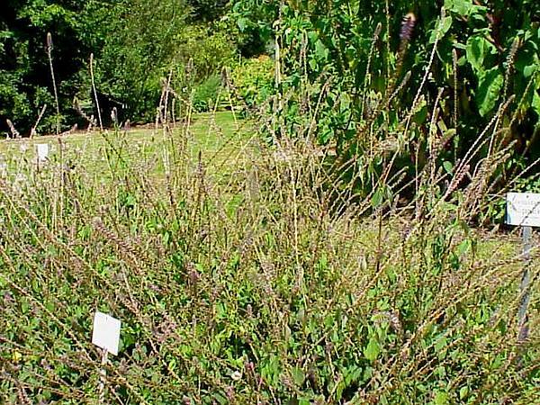 Chaff Flower (Achyranthes) https://www.sagebud.com/chaff-flower-achyranthes