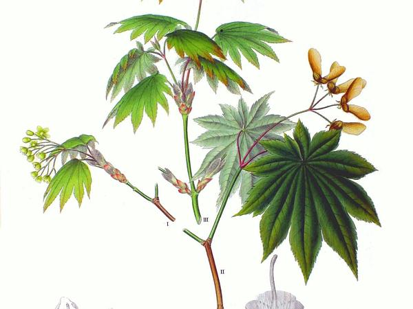 Amur Maple (Acer Japonicum) https://www.sagebud.com/amur-maple-acer-japonicum