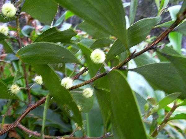 Koa (Acacia Koa) https://www.sagebud.com/koa-acacia-koa