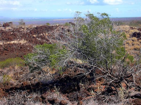 Koaoha (Acacia Koaia) https://www.sagebud.com/koaoha-acacia-koaia