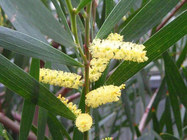 Sydney Golden Wattle (Acacia Longifolia) https://www.sagebud.com/sydney-golden-wattle-acacia-longifolia