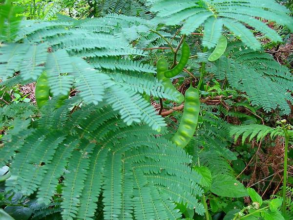 Blackwood (Acacia Melanoxylon) https://www.sagebud.com/blackwood-acacia-melanoxylon