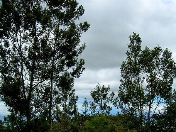 Black Wattle (Acacia Mearnsii) https://www.sagebud.com/black-wattle-acacia-mearnsii