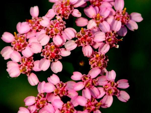Common Yarrow (Achillea Millefolium) https://www.sagebud.com/common-yarrow-achillea-millefolium