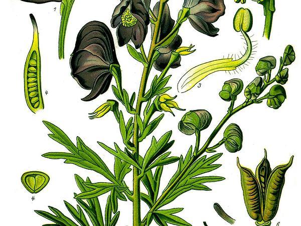 Venus' Chariot (Aconitum Napellus) https://www.sagebud.com/venus-chariot-aconitum-napellus