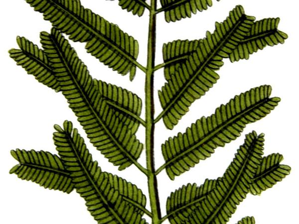 Gum Arabic Tree (Acacia Nilotica) https://www.sagebud.com/gum-arabic-tree-acacia-nilotica/