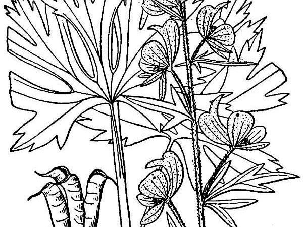 Northern Blue Monkshood (Aconitum Noveboracense) https://www.sagebud.com/northern-blue-monkshood-aconitum-noveboracense
