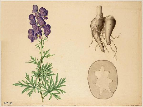 Monkshood (Aconitum) https://www.sagebud.com/monkshood-aconitum
