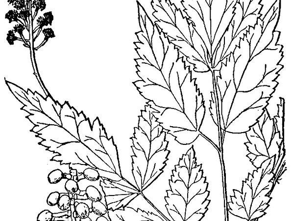 White Baneberry (Actaea Pachypoda) https://www.sagebud.com/white-baneberry-actaea-pachypoda