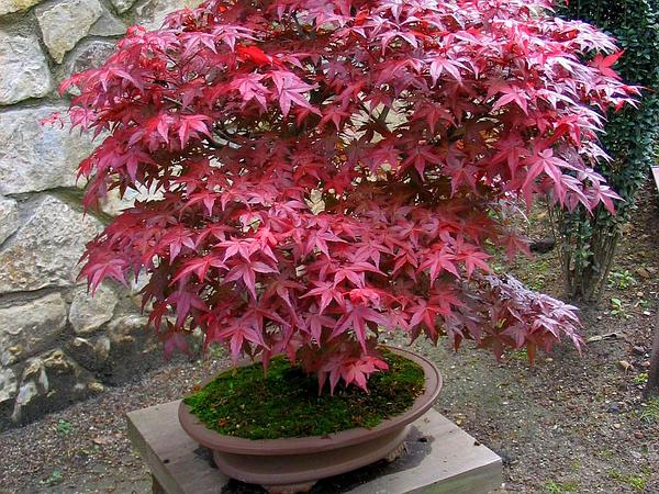 Japanese Maple (Acer Palmatum) https://www.sagebud.com/japanese-maple-acer-palmatum