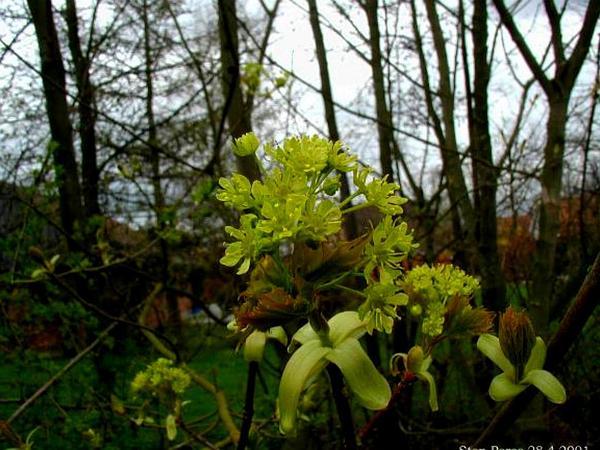 Norway Maple (Acer Platanoides) https://www.sagebud.com/norway-maple-acer-platanoides/