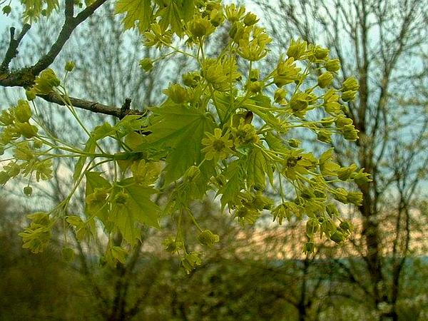 Norway Maple (Acer Platanoides) https://www.sagebud.com/norway-maple-acer-platanoides