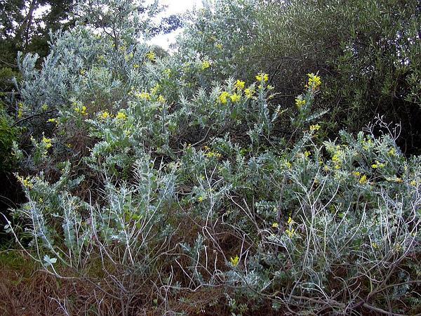 Pearl Wattle (Acacia Podalyriifolia) https://www.sagebud.com/pearl-wattle-acacia-podalyriifolia