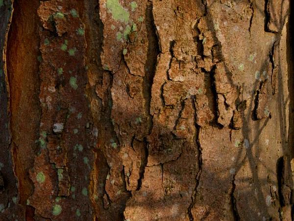 Sycamore Maple (Acer Pseudoplatanus) https://www.sagebud.com/sycamore-maple-acer-pseudoplatanus