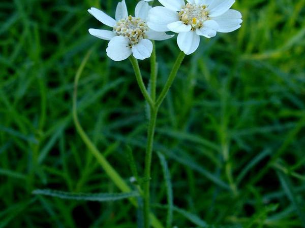 Sneezeweed (Achillea Ptarmica) https://www.sagebud.com/sneezeweed-achillea-ptarmica