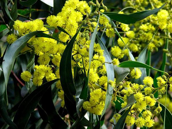 Golden Wattle (Acacia Pycnantha) https://www.sagebud.com/golden-wattle-acacia-pycnantha