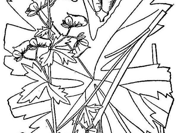Trailing White Monkshood (Aconitum Reclinatum) https://www.sagebud.com/trailing-white-monkshood-aconitum-reclinatum