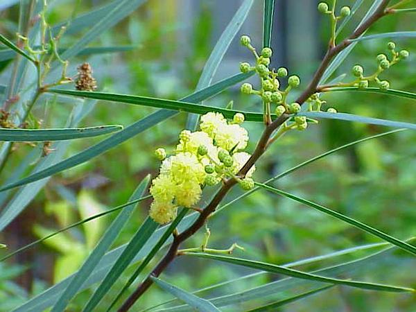 Water Wattle (Acacia Retinodes) https://www.sagebud.com/water-wattle-acacia-retinodes