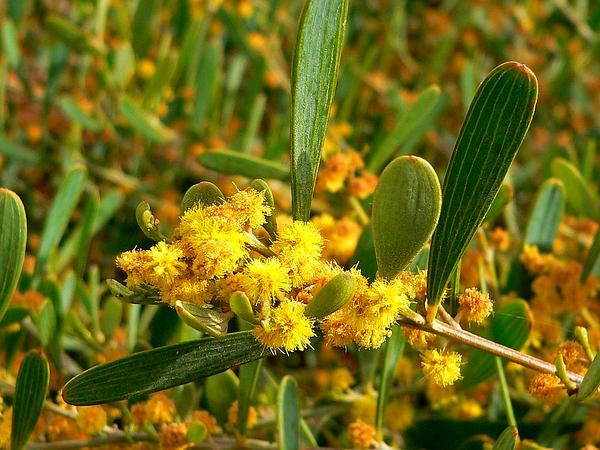 Bank Catclaw (Acacia Redolens) https://www.sagebud.com/bank-catclaw-acacia-redolens/