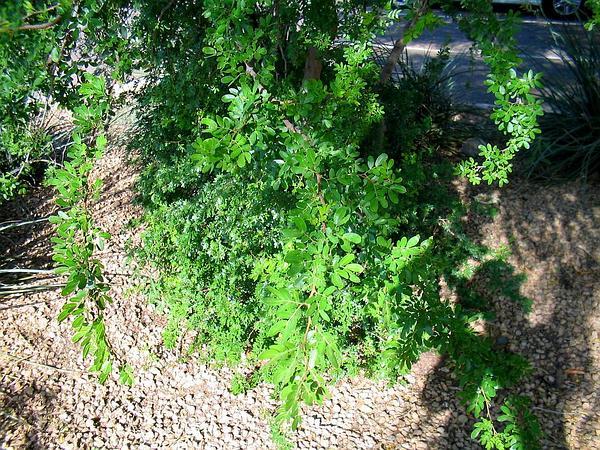 Blackbrush Acacia (Acacia Rigidula) https://www.sagebud.com/blackbrush-acacia-acacia-rigidula