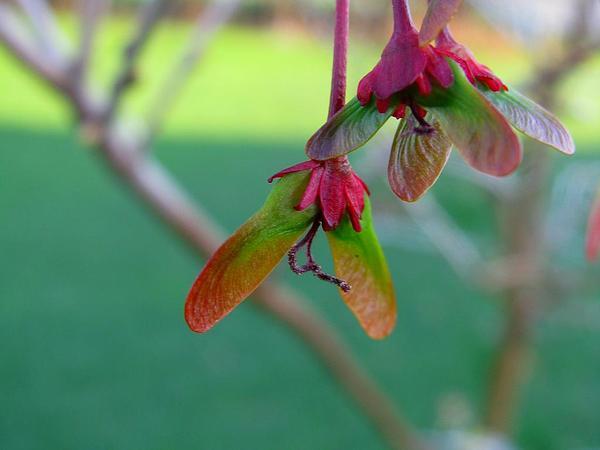 Red Maple (Acer Rubrum) https://www.sagebud.com/red-maple-acer-rubrum