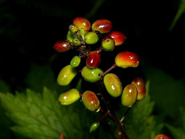 Red Baneberry (Actaea Rubra) https://www.sagebud.com/red-baneberry-actaea-rubra