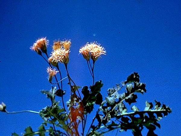 Featherleaf Desertpeony (Acourtia Runcinata) https://www.sagebud.com/featherleaf-desertpeony-acourtia-runcinata