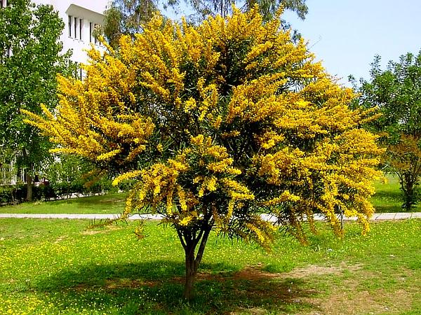 Orange Wattle (Acacia Saligna) https://www.sagebud.com/orange-wattle-acacia-saligna