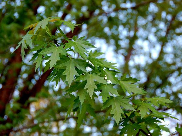 Silver Maple (Acer Saccharinum) https://www.sagebud.com/silver-maple-acer-saccharinum