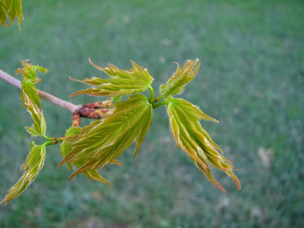 Sugar Maple (Acer Saccharum) https://www.sagebud.com/sugar-maple-acer-saccharum