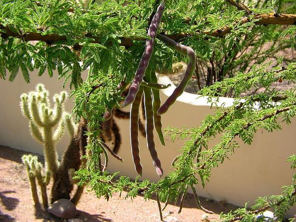 Schaffner's Wattle (Acacia Schaffneri) https://www.sagebud.com/schaffners-wattle-acacia-schaffneri