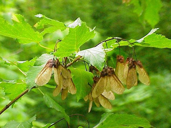 Tatarian Maple (Acer Tataricum) https://www.sagebud.com/tatarian-maple-acer-tataricum