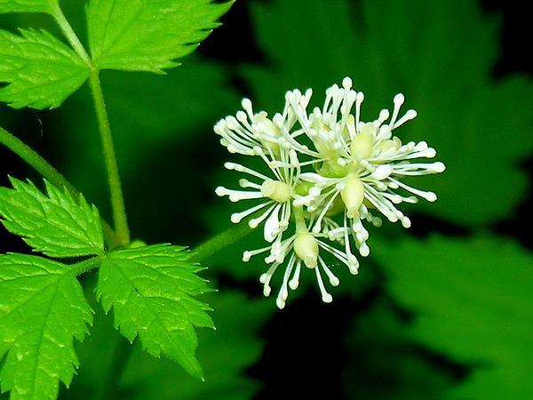 Baneberry (Actaea) https://www.sagebud.com/baneberry-actaea
