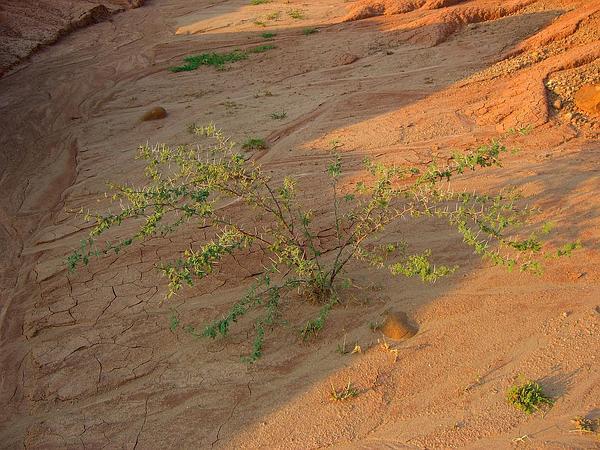 Poponax (Acacia Tortuosa) https://www.sagebud.com/poponax-acacia-tortuosa
