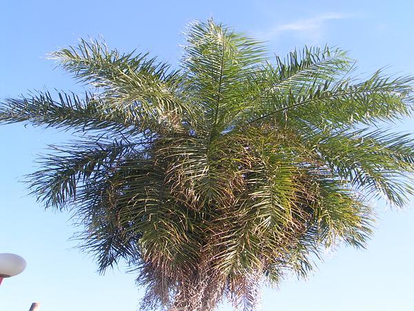 Grugru Palm (Acrocomia Totai) https://www.sagebud.com/grugru-palm-acrocomia-totai