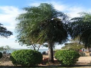 Grugru Palm