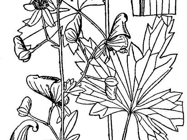 Southern Blue Monkshood (Aconitum Uncinatum) https://www.sagebud.com/southern-blue-monkshood-aconitum-uncinatum/