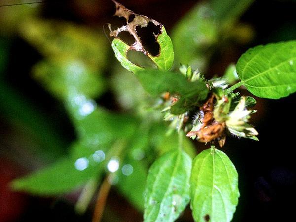 Virginia Threeseed Mercury (Acalypha Virginica) https://www.sagebud.com/virginia-threeseed-mercury-acalypha-virginica