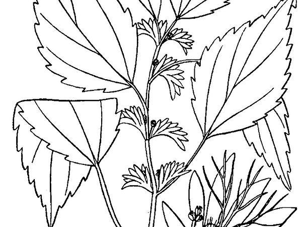 Virginia Threeseed Mercury (Acalypha Virginica) https://www.sagebud.com/virginia-threeseed-mercury-acalypha-virginica/