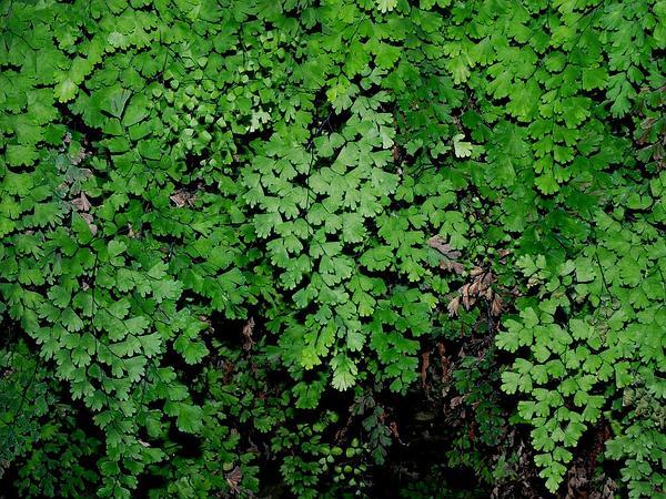 Common Maidenhair (Adiantum Capillus-Veneris) https://www.sagebud.com/common-maidenhair-adiantum-capillus-veneris